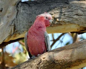 Female Galah by Stephen Root