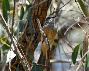 Rufous Whistler by Stephen Root