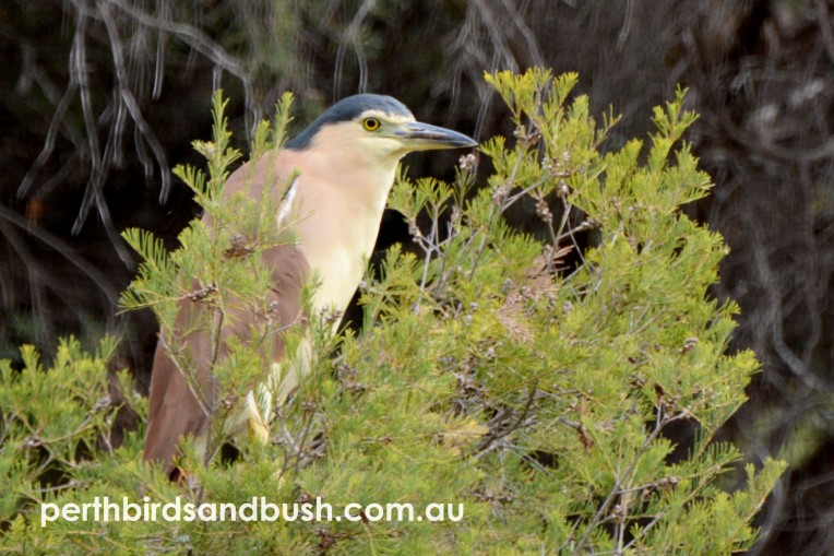 There were quite a few Nankeen Night Heron perched in the open basking in the late afternoon light.