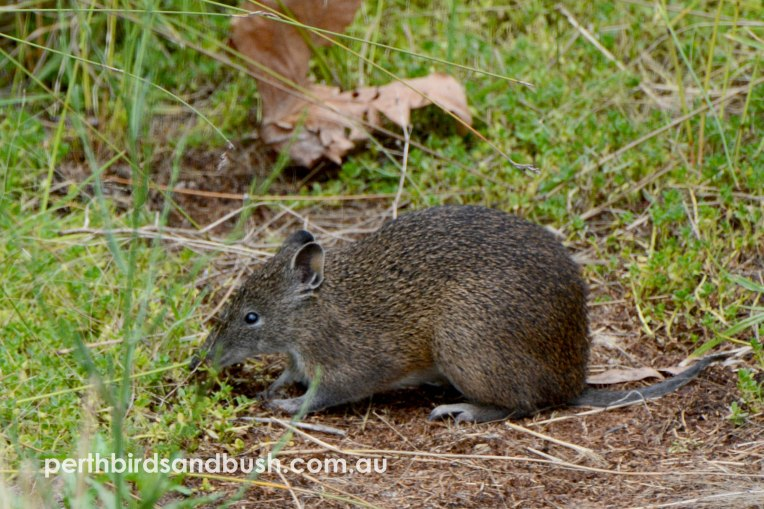 A Quenda or Southern Brown Bandicoot forage in the open in front of us!