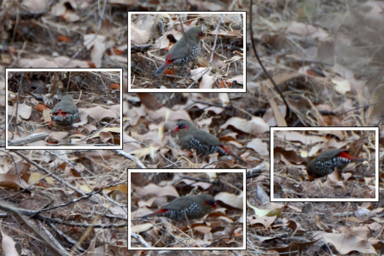 One of the highlights of the morning in the Darling Range was this foraging Red-eared Firetail.