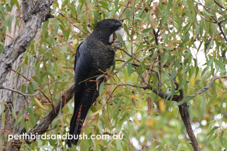 A family of Red-tailed Black-Cockatoo were enjoying a feed of Jarrah seeds.
