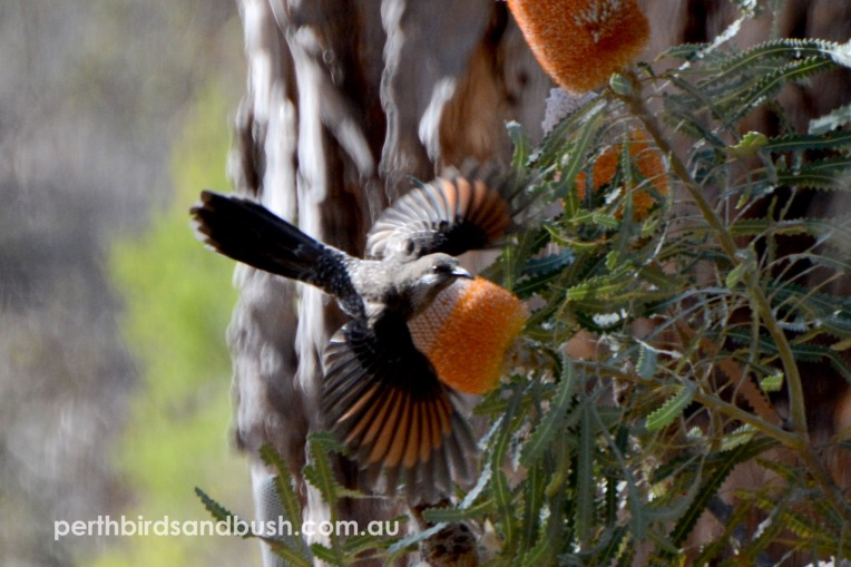 A Western Wattlebird flying from an Acorn Banksia (Banksia prionotes).
