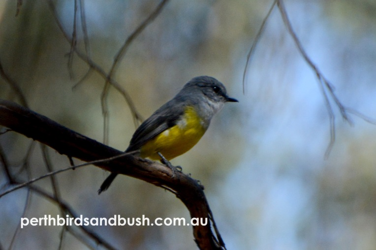 A pair of Western Yellow Robin came delightfully close to us as they hunted in the late morning.