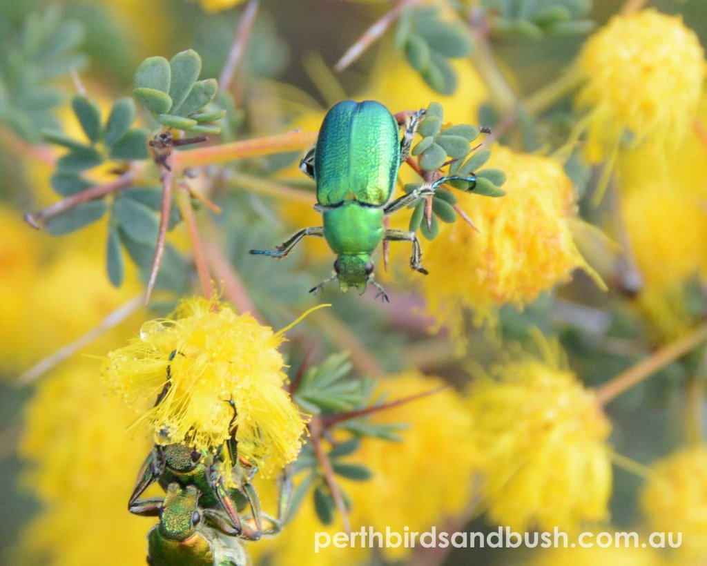 A green shiny beetle in yellow Acacia flowers.